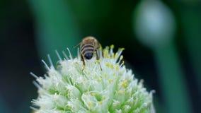 Abelha que recolhe o pólen na flor e para voar afastado 4k UHD Metragem macro vídeos de arquivo
