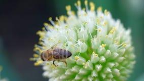 Abelha que recolhe o pólen na flor e para voar afastado UHD Metragem macro filme