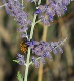 Abelha que recolhe o pólen na planta prudente da alfazema durante um dia de verão Fotos de Stock