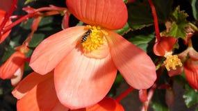 Abelha que recolhe o pólen pêssego bonito de uma begônia colorida Fotos de Stock Royalty Free