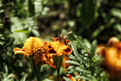Abelha que senta-se na flor alaranjada do cravo-de-defunto Foto de Stock