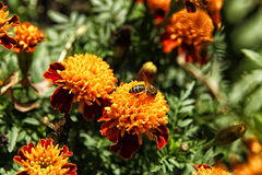 Abelha que senta-se na flor alaranjada do cravo-de-defunto Imagens de Stock Royalty Free