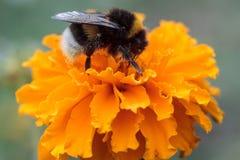 Abelha que senta-se na flor do cravo-de-defunto Foto de Stock Royalty Free