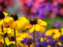 Abelha que senta-se sobre a flor amarela fotografia de stock royalty free