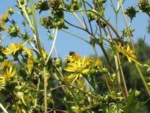 Abelha que vagueia em flores selvagens imagem de stock royalty free