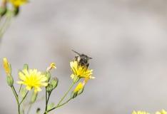 Abelha que voa fora de uma flor amarela Fotos de Stock