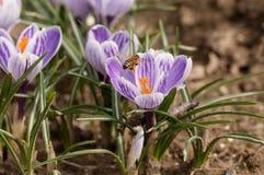 Abelha que voa sobre os açafrões na primavera em um prado Fotos de Stock Royalty Free