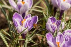 Abelha que voa sobre os açafrões na primavera em um prado Foto de Stock Royalty Free