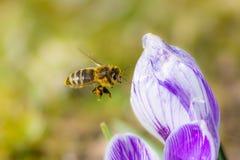 Abelha que voa a uma flor do açafrão Fotos de Stock