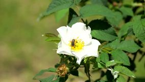 A abelha rasteja entre os estames video estoque