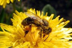 A abelha recolhe o mel imagens de stock