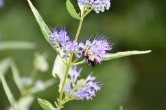 A abelha recolhe o néctar das flores azuis de Spirea da névoa Fotos de Stock Royalty Free