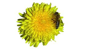 A abelha recolhe o néctar e o pólen de uma flor video estoque