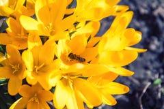 A abelha recolhe o néctar e voa Fotografia de Stock