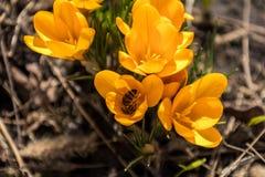A abelha recolhe o néctar e voa Açafrões de florescência amarelos Foto de Stock Royalty Free