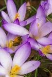 A abelha recolhe o néctar em um açafrão Imagens de Stock