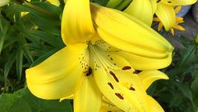 A abelha recolhe o néctar em um lírio de florescência amarelo filme