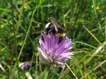 A abelha recolhe o pólen Fotos de Stock Royalty Free