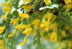 A abelha recolhe o pólen da flor amarela da acácia fotografia de stock royalty free
