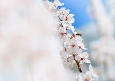 A abelha recolhe o pólen das flores Ramos de árvore de florescência com flores brancas, céu azul primavera Sharp e def brancos Fotografia de Stock Royalty Free