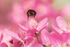 A abelha recolhe o pólen no paraíso bonito cor-de-rosa appl das flores da árvore Fotografia de Stock Royalty Free