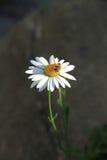 A abelha recolhe o pólen que senta-se em uma camomila Imagens de Stock Royalty Free
