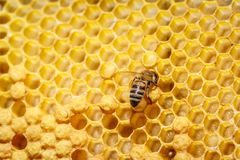 Abelha só que senta-se no favo de mel, close-up Imagens de Stock