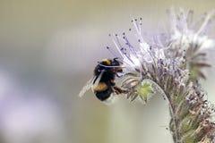 Abelha selvagem que recolhe o néctar de uma flor durante a mola Macro/ foto de stock royalty free