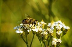 Abelha selvagem que recolhe o pólen das flores Fotografia de Stock