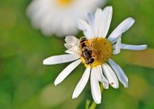 A abelha senta-se em um close-up da margarida Imagem de Stock