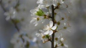 A abelha senta-se em uma flor da ameixa vídeos de arquivo