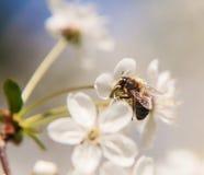 A abelha senta-se nas flores brancas da árvore de cereja close-up, Imagem de Stock Royalty Free