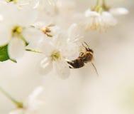 A abelha senta-se nas flores brancas da árvore de cereja close-up, Fotos de Stock