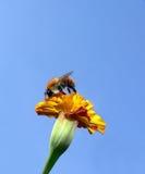 Abelha sobre um marigold Imagem de Stock Royalty Free