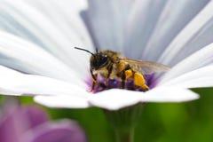 Abelha sobre uma flor da margarida Fotos de Stock