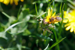 A abelha sorve o néctar da flor amarela do dente-de-leão Imagem de Stock