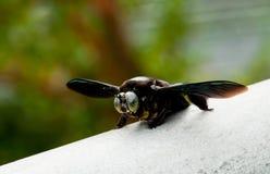 Abelha Stingless gigante Fotografia de Stock