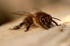 A abelha toma sol no sol fotografia de stock