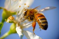 A abelha trabalha na flor branca foto de stock