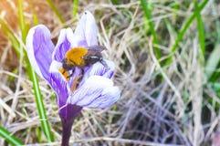 A abelha, tropeça a abelha na primeira flor da mola do açafrão Fotografia de Stock Royalty Free