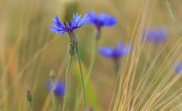 A abelha voa até uma flor selvagem azul Imagem de Stock Royalty Free