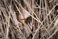 A abelha voa o Bombyliidae A mosca peludo da cor do gengibre olha como traças ou imita zangões e abelhas Close-up macro do tiro d Foto de Stock Royalty Free