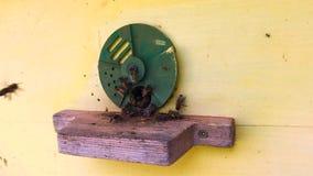A abelha voada voa lentamente à colmeia para recolher o néctar no apiário privado das flores vivas vídeos de arquivo