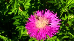 A abelha voada voa lentamente à planta video estoque