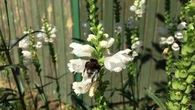 A abelha voada voa lentamente à planta filme