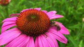 A abelha voada voa lentamente à planta vídeos de arquivo