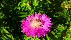 A abelha voada voa lentamente à planta, recolhe o néctar vídeos de arquivo