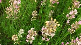 A abelha voada voa lentamente à planta, recolhe o néctar video estoque