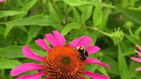 A abelha voada voa lentamente à planta, recolhe o néctar filme
