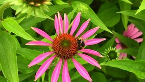 A abelha voada voa lentamente à planta, recolhe o néctar para o mel no apiário privado vídeos de arquivo